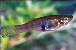سمكة الجامبوزيا أو سمكة البعوض (الناموس)