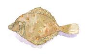 سمك موسي
