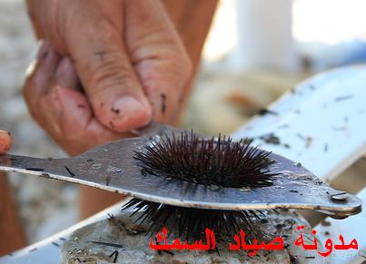 طريقة فتح و أكل قنفذ البحر - الرتسا - التوتيا