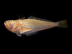 الاسماك الخطرة – سمكة البلامة