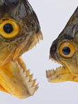 الاسماك الخطرة - سمكة البلامة