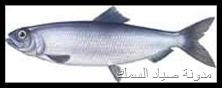 سمك الرنجة المخلل بالبرتقال و الشمر و السبانخ