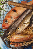 ثعبان السمك ( الحنشان – حنش البحر ) – Common Eel