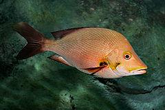 النهاش سمكة النهّاش