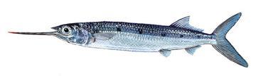 سمكة الزنجاريا