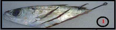 الطريقة الصحيحة لشبك الطعم (سمك تم تقطيعة) مع الصنار (الميدار)