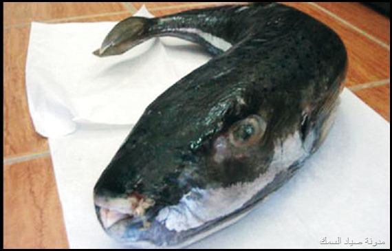 احسن طعم لصيد السمك
