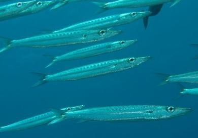 سمك زرقان