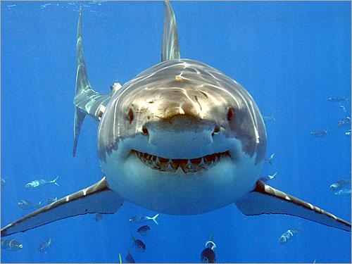 طريقة نادرة لتكاثر سمك القرش