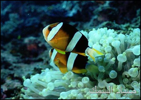 اسماك الشعاب المرجانية بالبحر الأحمر