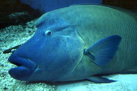 سمكة الطرباني اوالترباني او نابليون