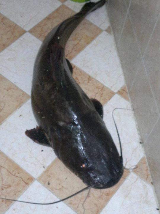 بعض انواع الاسماك فى النيل