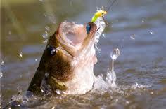 كيف يأكل السمك الطعم ؟