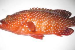 تعميم بمنع صيد أسماك  الناجل والطرادي والباغة في المملكة